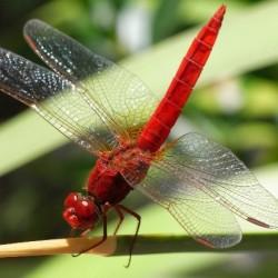 生物运动规律素材 虫族-蜻蜓运动图片素材 免费