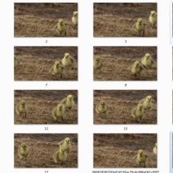 动物运动规律素材 鸟类小鸡运动图片素材 免费