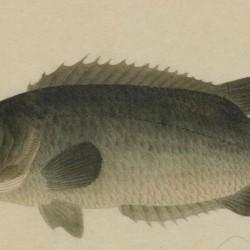 博物馆鱼谱
